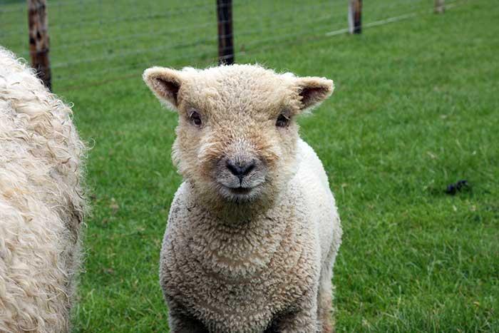 Schaf im Jedburgh Farmpark